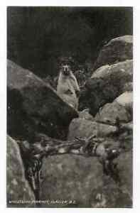 WHISTLING HOARY MARMOT - Glacier - BRITISH COLUMBIA  Canada S. H. BAKER Postcard