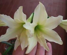 Hippeastrum  Golden Daylight x  Yoitmasuri  - 5 seeds