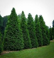 "10 Thuja Green Giant Arborvitae 8""-12"" Tall Trees Plant Outdoor Garden"