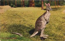 Kangaroo New York Zoological Park Animal Postcard