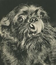 Brussels Griffon Dog Vintage 60 year-old Full Page Photo Print