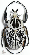 Goliathus orientalis MALE 80+mm,UNMOUNTED beetle
