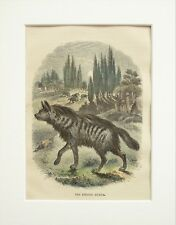 Striped Hyena Animal Print - c.1880 Mounted Antique Hand Coloured Engraving