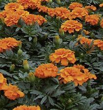 Studentenblume Tagetes Orange Boyeinjährig  Höhe 20 cm Samen