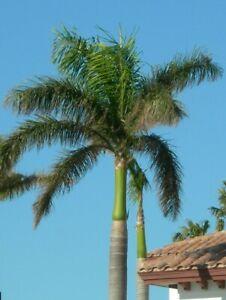 20 Samen Kubanische Königspalme Roystonea regia Palmen Samen