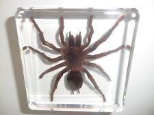 TARANTULA Spider Golden Earth Tiger Specimen in 75 mm square Block Education Aid