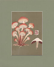 MUSHROOM PRINT. Agaricus Sublateritius = Brick Top Fungi, ca.1897 Vintage Print.