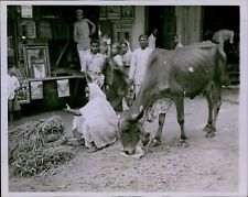 LD210 1942 Original Photo SACRED COW EATING Starving Animal India Bombay Street