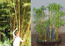 Gold - Bambus exotische duftende Pflanzen für die Wohnung drinnen Zimmerpflanze