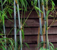 100+ Fresh Blue Bamboo Seeds (Fargesia / Borinda Papyrifera) hardy +instructions