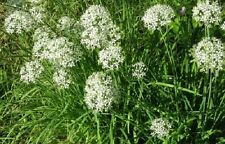 1,000 Garlic Chive Seeds Spice Seeds Chives Seeds HERB SEEDS