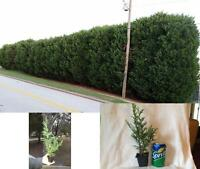 25 Thuja Green Giant Trees 8''-10'' Tall in Their Pots Plant Garden Outdoor Yard