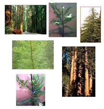 Set of 3 - Coast Redwood Trees - Nice Bareroot Evergreen - Order Now - Ships Now