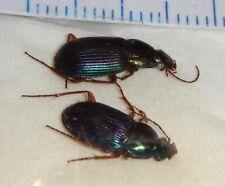 Carabidae 2 Carabids from India #33 Carabid Carabus Beetle Insect Calosoma