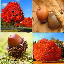 10 pcs Red Oak Tree Quercus Alba Shade Acorn Seeds tree seeds home garden plant