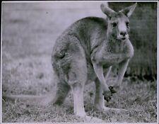 Ld211 Original Photo Baby Kangaroo Joey Adorable Marsupial Australian Animal
