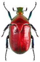 Torynorrhina flammea red ONE REAL SCARAB BEETLE THAILAND UNMOUNTED