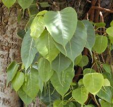 i! Buddhas Feigenbaum i! wunderschön geformte Blätter - Zimmerpflanze Exot.