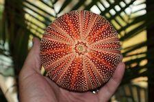 "Orange English Channel Sea Urchins 4""-5"""