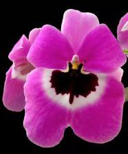 Mps. Boulivot 'THX 1138' Fragrant In Spike / Flower