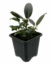 """Burgundy India Rubber Tree Plant - Ficus - An Old Favorite - 2.5"""" Pot"""
