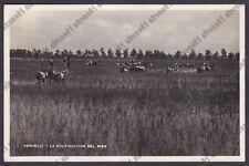 MONDINE 292 MONDARISO RISO RISAIA - VERCELLI Cartolina viaggiata 1950 REAL PHOTO