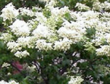 Japanese Tree Lilac seedling creamy white flowers blooming Flowering Live Plant