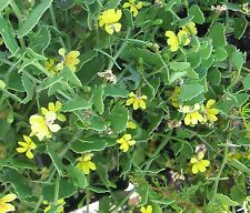 Goodenia varia in 50mm forestry tube native plant groundcover