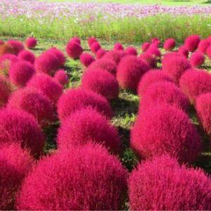 Burning Bush Grass - Kochia scoparia - Trichophylla - Viable Seeds - UK Stock