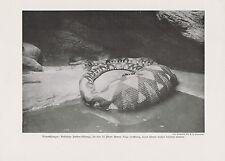 Phyton Riesenschlange mit verschluckter 52 Pund Ziege DRUCK von 1912