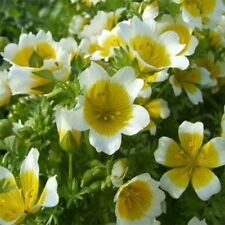 Poached Egg Plant-Meadowfoam (Limnanthes Douglasii)- 50 Seeds
