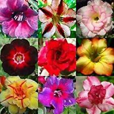 50 Seeds Desert Rose Adenium Obesum Bonsai Mixed Colors Decor Bonsai New S3G8