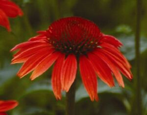 25+ RED RUBY  ECHINACEA / CONE-FLOWER FLOWER SEEDS  / LONG LASTING PERENNIAL