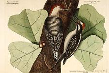 Estilo Vintage enmarcado impresión: vientre rojo y peludo Pájaro Pájaros carpinteros (antiguo)