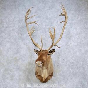 #14613 P+ | Barren-Ground Caribou Taxidermy Shoulder Mount For Sale