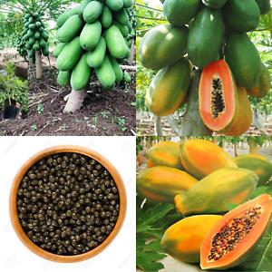 Rare! Dwarf Waimanalo Papaya! tropical fruit tree seeds plant Red & Yellow 50+