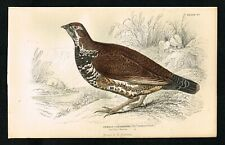 1840 Canadian Spruce Grouse Bird, Hand-Colored Antique Engraving Print - Jardine