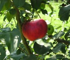 Winesap Apple Tree - Healthy Fruit Trees - Red Apple - 1 Plant