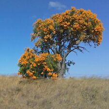 NUYTSIA floribunda West Australian Christmas Tree Seeds (N 28)