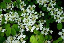 10 Seeds Blushing Viburnum Shrub or Bonsai - Standard Overstock