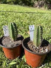 San Pedro Seedlings 2 Pack Torres &. Torres X Yowie, Haurazensis X Lima 3