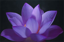50 Purple / Violet Lotus Nymphaea Asian Water Lily Flower Pond Seeds Usa Seller!
