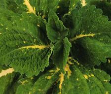 COLEUS KONG GREEN Solenostemon Scutellarioides - 20 Bulk Seeds