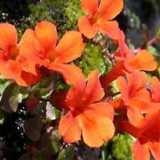 Mimulus- Monkey flower- Orange- 100 Seeds - - BOGO 50% off SALE