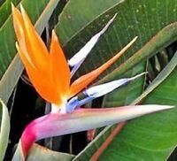 Bird Of Paradise Seeds Strelitzia Reginae 15 Seeds