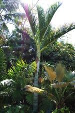Dypsis malcomberi - 5 Samen - Palmen Samen