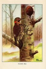 """1926 Vintage TODHUNTER BIRDS """"FLICKER"""" GORGEOUS 90 YEARS OLD Color Lithograph"""
