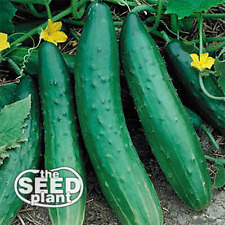 Sweet Burpless Cucumber Seeds - 50 SEEDS NON-GMO