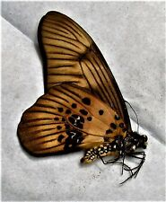 Lot of 20 Coppery Swordtail Butterfly Graphium latreillianus theorini Folded