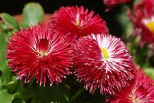 50 Semillas Daisy (Bellis Perennis)